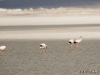 20-20140410-07-surire-flamingos-017