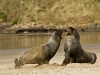 new-zealand-cannibal-bay-sealions