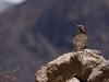 cruz-del-condor-aves_0