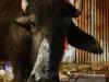 pachmarhi-cow