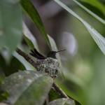 "ein brütender kolibri ""amazilia tzacatl"""